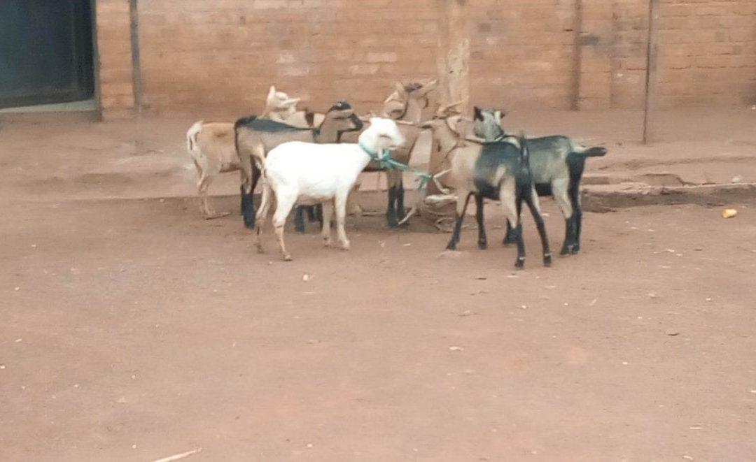 Goats Distribution